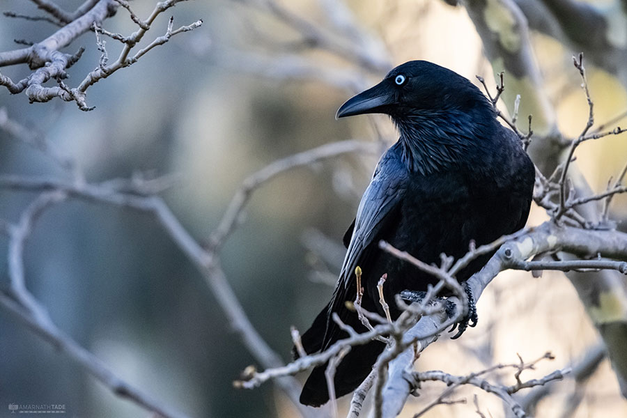 Raven on branch
